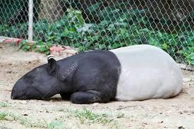 Sleeping%20tapir
